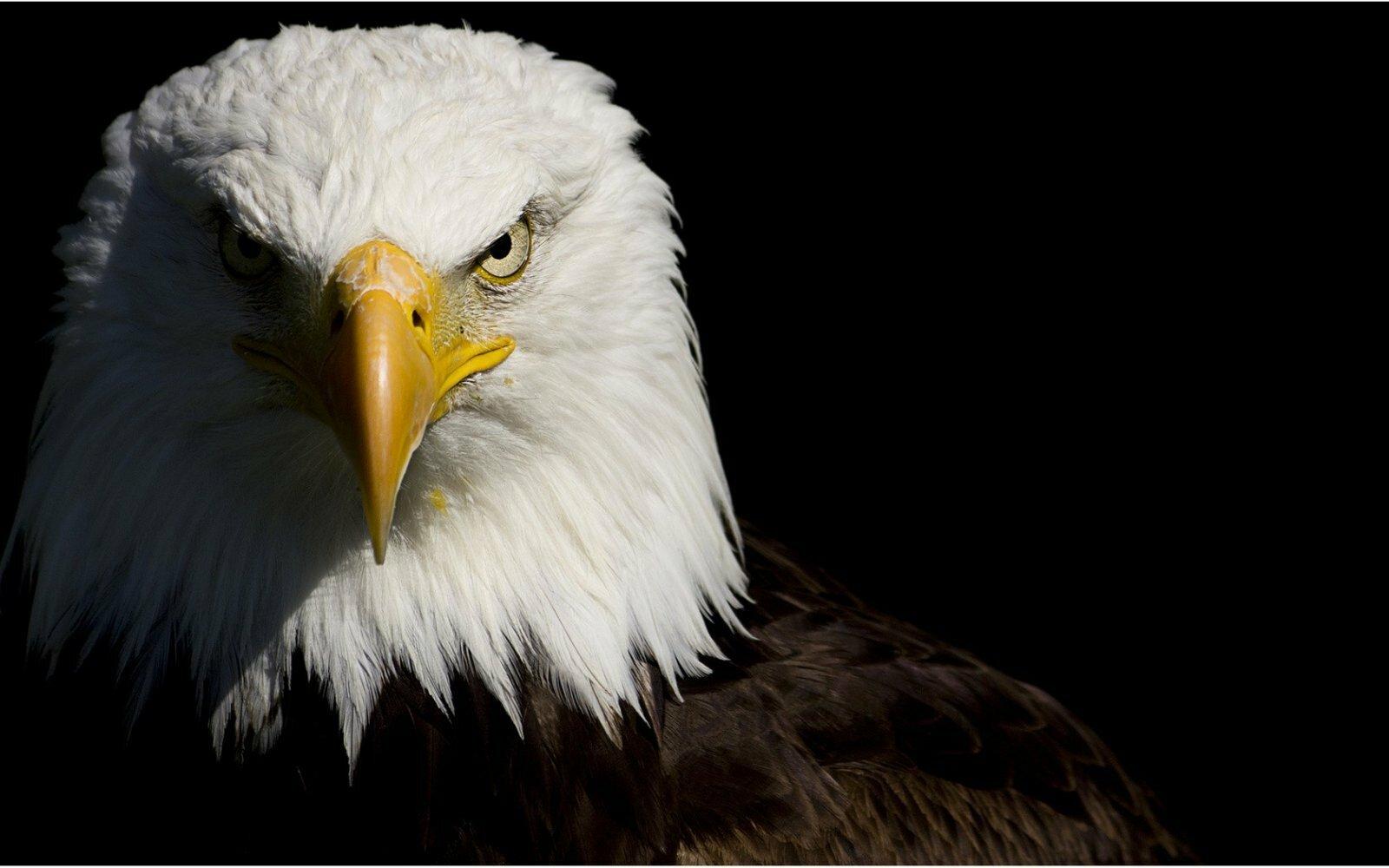 águia líder